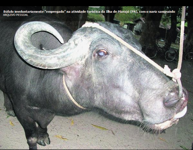 búfalos marajó turismo